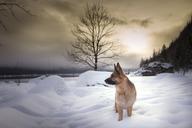 Austria, Styria, German shepherd at Lake Altaussee in winter - STCF00390