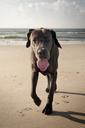 Portrait of Great Dane walking at beach against sky - CAVF11249