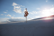 Tree at White Sands National Monument against sky during sunset - CAVF14923