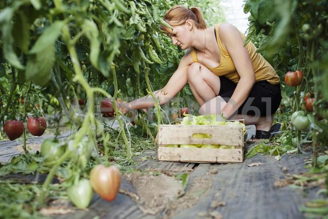 Female farmer harvesting fresh bell peppers in greenhouse - CAVF15217