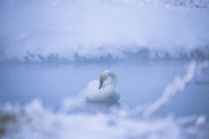 Swan in lake during foggy weather - CAVF15256