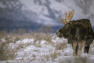 Moose standing snow covered field against mountain - CAVF15259