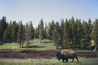 Bison walking on grassy field against trees at Yellowstone National Park - CAVF16726