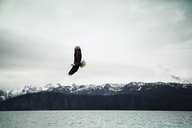 Bald eagle flying over sea against cloudy sky - CAVF18063