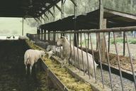 Sheep feeding hay from trough in barn - CAVF21735