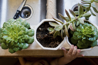 Cropped image of boy hand reaching for succulent plants in kitchen - CAVF24456