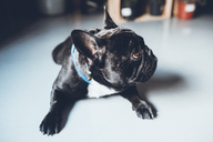 Close-up of French bulldog looking away while sitting at home - CAVF25100