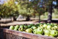 Granny smith apples in crate at orchard - CAVF25967