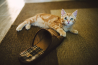 Ginger kitten playing with slipper on the carpet - RAEF01986