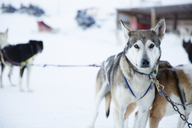 Portrait of Siberian Husky tied up with chain on snowy field - CAVF27024