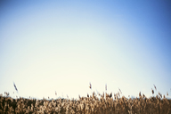 Scenic view of field against clear blue sky - CAVF27063
