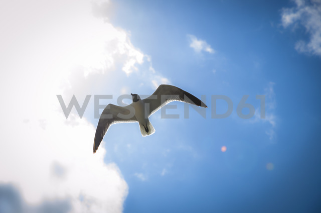 Flying seagull - STCF00546