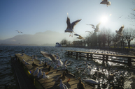 Austria, Salzkammergut, Lake Mondsee and seagulls in the morning - STCF00579