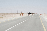 Camels crossing country road amidst desert against clear sky - CAVF27197