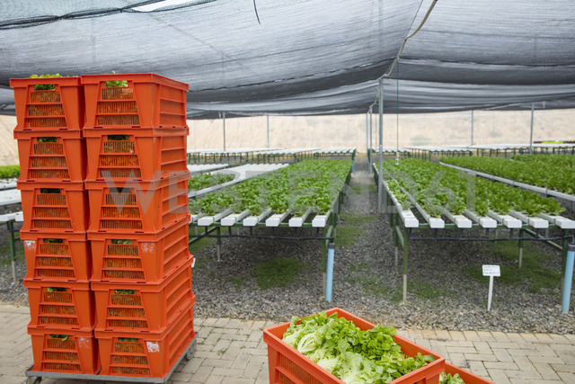 Crates with fresh vegetables in greenhouse - ZEF15193