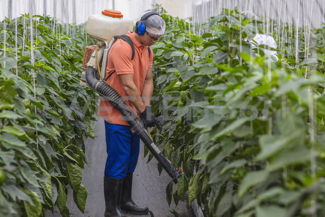 Young man working in greenhouse spraying fertilizer on plants - ZEF15205