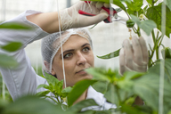 Young woman working in greenhouse, pruning vegetable plants - ZEF15208