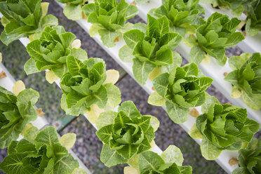 Vegetables growing in greenhouse - ZEF15217