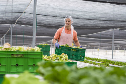 Worker in greenhouse carrying crate with freshly harvested vegetables - ZEF15223