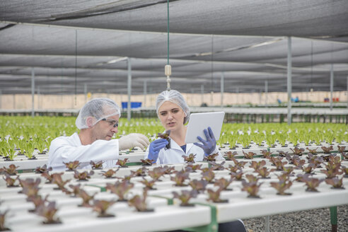 Workers in greenhouse inspecting plants - ZEF15235