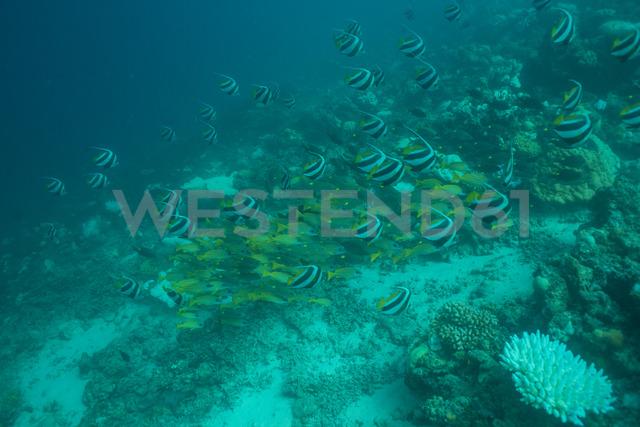 Maldives, fish under water - ZEF15250