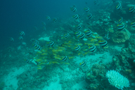 Maldives, fish under water - ZEF15250
