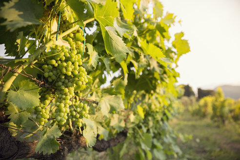 Close-up of bunch of grapes in vineyard - FOLF00588