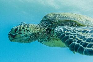 Close-up of turtle swimming in sea - CAVF29406