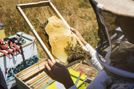 High angle view of beekeeper examining honeycomb frame during sunny day - CAVF30771