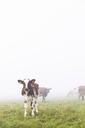 Cows in pasture in fog - FOLF03553
