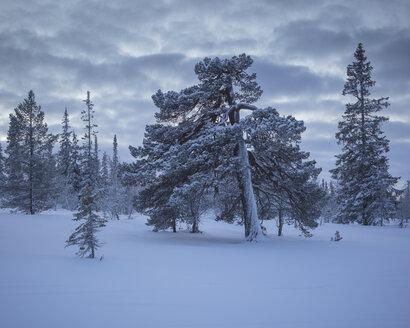 Trees during winter in Fulufjallet National Park, Sweden - FOLF05069