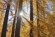 Italy, South Tyrol, European Larch, Larix decidua, forest against the sun - RUEF01827