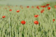 Germany, Bavaria, Franconia, Red poppies in wheat field - RUEF01833