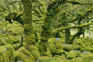 United Kingdom, England, Dartmoor National Park, Trees and granite boulders are overgrown with moss - RUEF01842