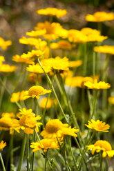 Pot Marigolds on a meadow - NDF00748