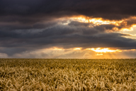 United Kingdom, East Lothian, wheat field at sunset - SMAF00994