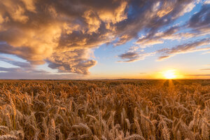 United Kingdom, East Lothian, wheat field at sunset - SMAF01000