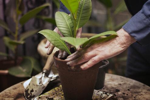 Senior man's hands planting - CAVF31539