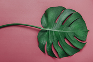 Monstera leaf on pink background, Monstera deliciosa - RTBF01138