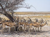 Africa, Namibia, Etosha National Park, group of springboks under tree in shadow - RJF00783