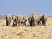 Africa, Namibia, Etosha National Park, Herd of elefants, Loxodonta africana - RJF00786