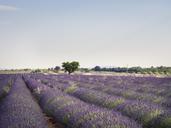 France, Provence, lavender field - SBDF03525