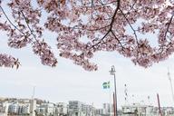 Residential buildings with fruit tree in bloom - FOLF07307