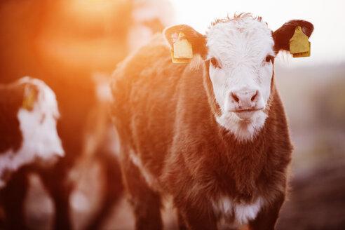 Calf with tags at sunrise - FOLF07349
