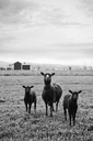 Lambs on pasture under cloudy sky - FOLF07361