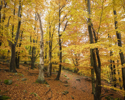 Autumn forest with yellow leaves - FOLF07418