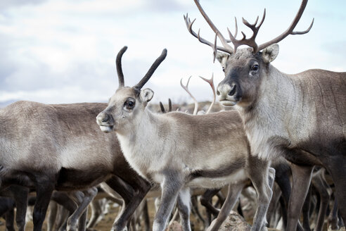 Close- up of reindeer walking in wild - FOLF07448