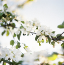 Close up of apple blossoms - FOLF08355