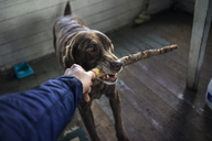 Cropped image of hand holding stick in dog's mouth - CAVF33992