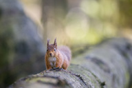 Red squirrel on tree trunk - MJOF01476